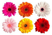 Collection of gerber daisy flowers — Stock Photo
