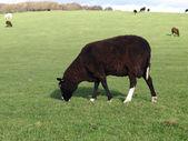 A Zwartbles Ram Grazing — Stock Photo