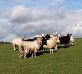 Un rebaño de ovejas marrones y blancas — Foto de Stock
