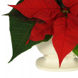 Poinsettia, the Xmas Flower, in Vase — Stock Photo