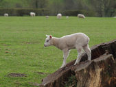 Commandes d'agneau sur une souche d'arbre — Photo