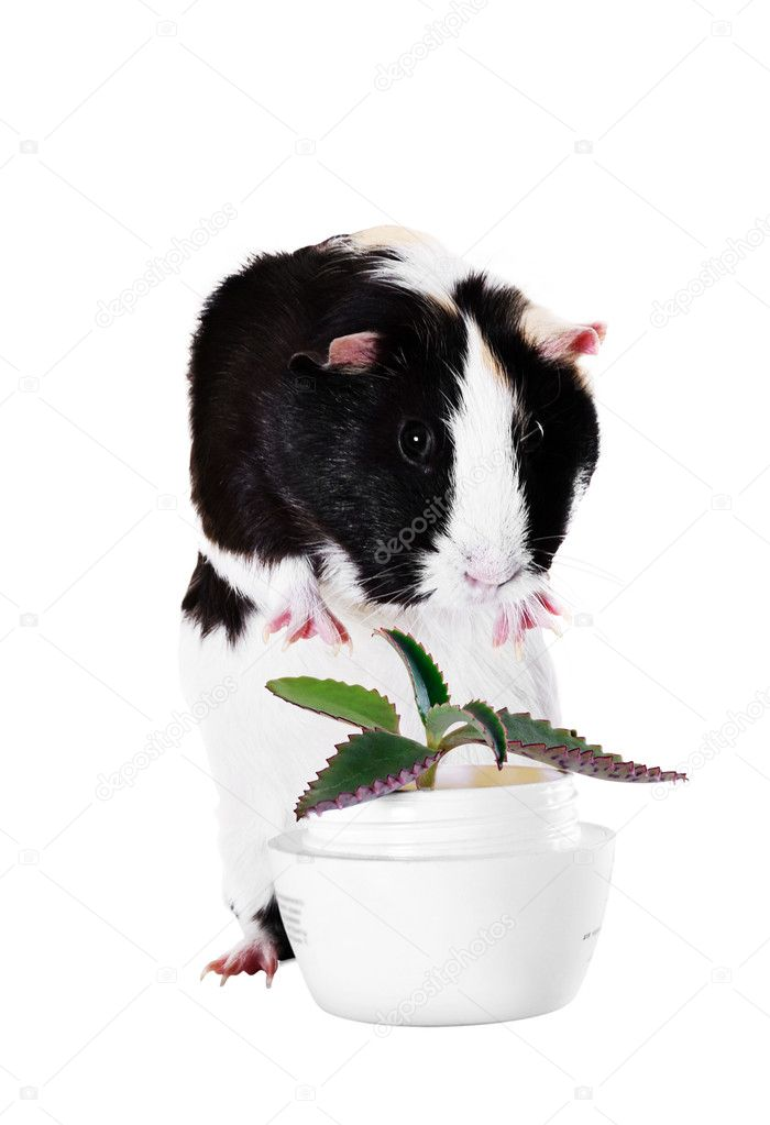 Guinea pig with a medicinal plant Kalanchoe — Stock Photo #8204467