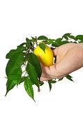 Yellow ripe juicy lemon — Stock Photo