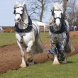 Shire Horses at a Ploughing Match - Stock Photo