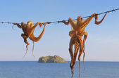 Octopus hanging up to dry — Stock Photo