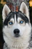 ハスキー犬 — ストック写真