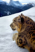 Photomontage of a snow leopard — Stock Photo