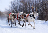 Team of rein-deers skims over the snow path. — Stock Photo