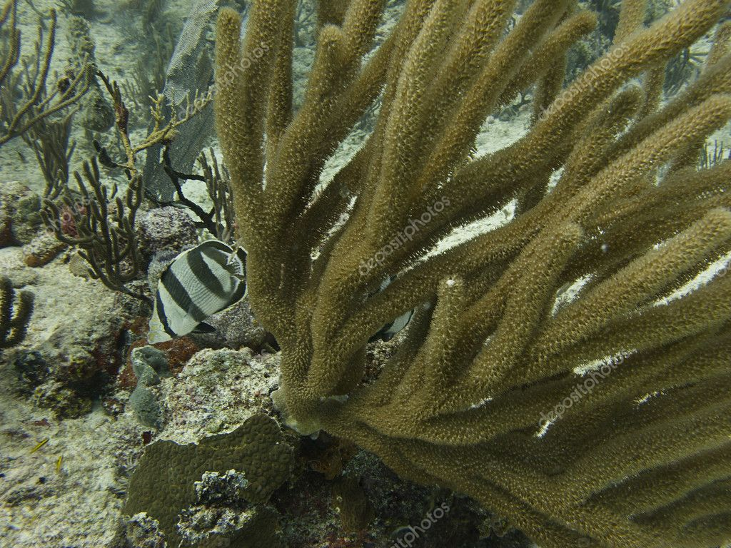 Banded butterflyfish swimming around a coral — Stock Photo #10381075