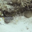 Spotted moray eel - Stock Photo