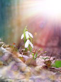Two snowdrop under the sunlight — Stock Photo