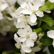 Branch of pear flowers in natural environment — Foto Stock