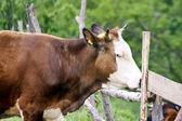 La vaca en Prado de montaña verde verano de Rumania — Foto de Stock