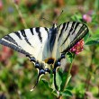 Day scene with swallowtail butterfly in natural environment — Stock fotografie