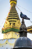 Duif in swayambhunath tempel — Stockfoto