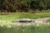 Crocodile in Royal Chitwan National Park, Nepal — Stock Photo