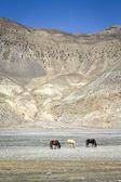 Himalaya dağları'nda atlar — Stok fotoğraf