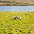 Islay sheep — Stock Photo