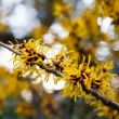 Chinese witch hazel — Stock Photo