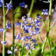 Bluebells — Stock Photo