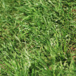 Green spring grass texture - nature background close up - Stock Photo