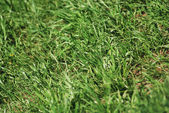 Green spring grass texture - nature background close up — Stock Photo