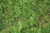 Zelená jarní trávy textury - přírodní pozadí zblízka — Stock fotografie
