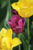 One violet tulip and two yellow tulips ,flowers background — Stock Photo