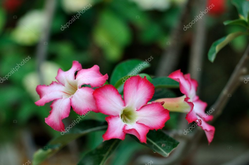 Desert rose is a species of flowering plant in the dogbane family — Stock Photo #9180308