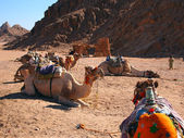 Camels seating against a mounting background — Stock Photo
