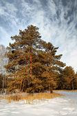 Pino alto en un bosque — Foto de Stock