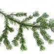 Design element.  Spruce branche - Stock Photo