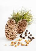 Cedar cones and nuts — Stock Photo