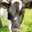 Cow on the meadow — Stock Photo #8170732