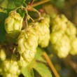 Hops — Stock Photo #8171484