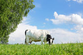 Cow grazing in the meadow — Stock Photo
