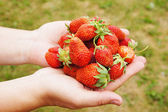 Female hands hold large and ripe berries of garden wild strawberry — Stock Photo