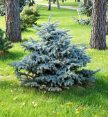 Landscape design. A small ornamental coniferous tree — Stock Photo