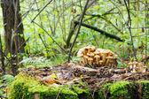 Pilze wachsen auf einem baumstumpf im wald — Stockfoto