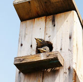 Nestling looks out from a starling-house — Stock Photo