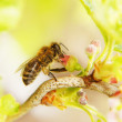 The bee collects honey on a flower — Stock Photo