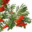 Branches of Mountain ash berries are isolated on a white background - Stockfoto