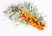 Oddział owoce rokitnika jest izolowana na białym tle — Zdjęcie stockowe