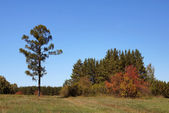 Lone pine i en skog glade — Stockfoto