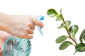 The woman sprays by water an indoor plant — Stock Photo