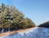 The plantation of young pine wood — Stockfoto
