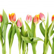 Tulip flowers isolated over white — Stock Photo
