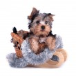 Yorkshire Terrier Welpen — Stockfoto