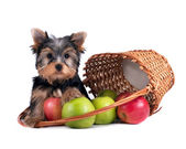 Yorkshire terrier puppy on white background — Stock Photo