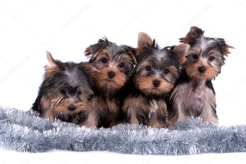 The Yorkshire terrier puppy on white background   #9290491